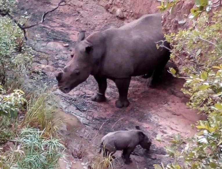 new baby rhino at thula thula game lodge south africa