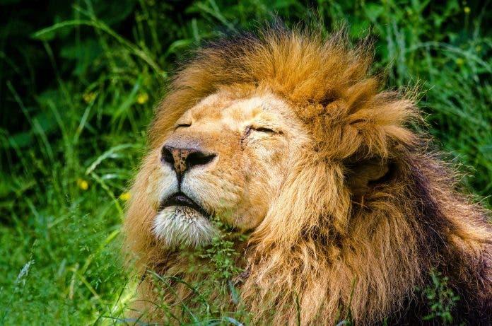 african-lion wildlife trade ban