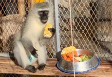monkey-rescue-bloemfontein-th