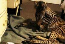 orphaned-baby-zebra-rescued