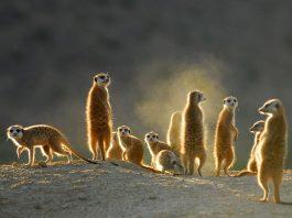 meerkats wildlife-south-africa-covid-19