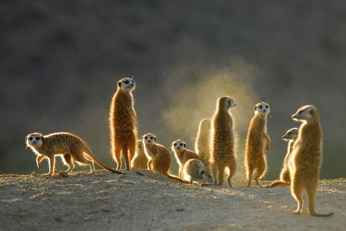 meerkats wildlife-south-africa-covid-19