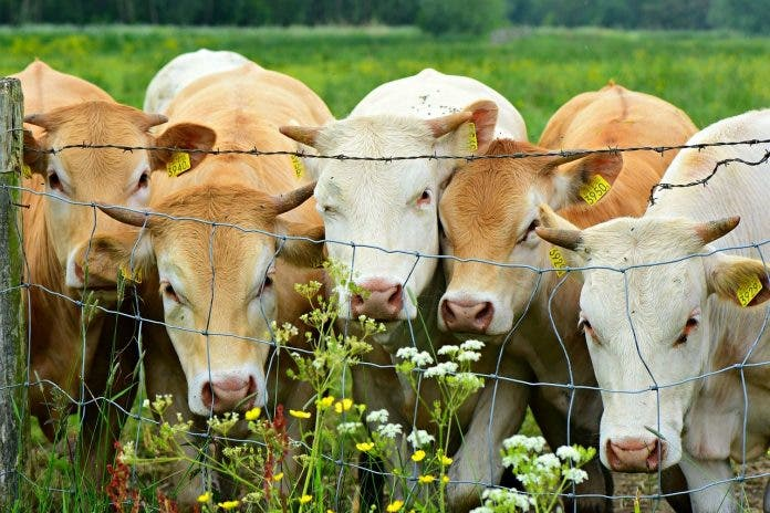 cattle farm south africa agricultural fund pix