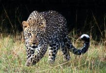 leopards threatened by exploitation thecon