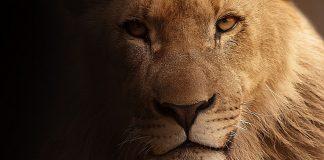 lion skins arrest south africa