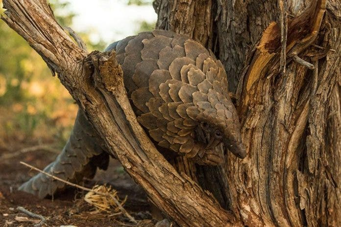 pangolin south africa covid 19