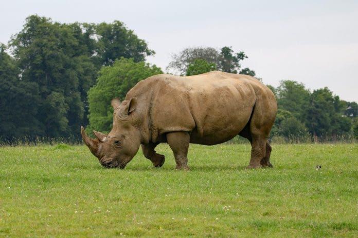 rhino poaching south africa