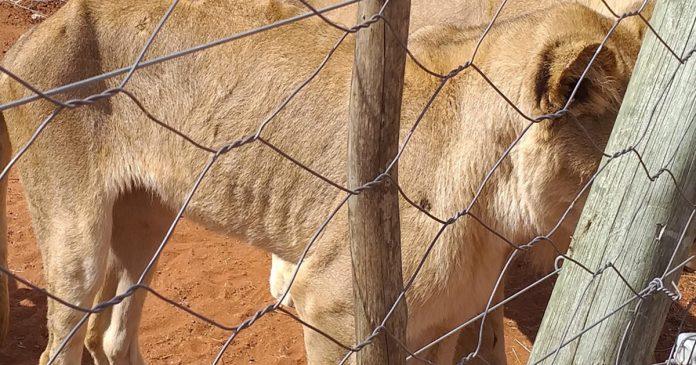 starving-lions-slippers-breeding-farm