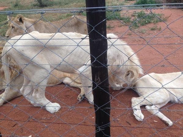 Images from Walter Slippers Lion Breeding Farm