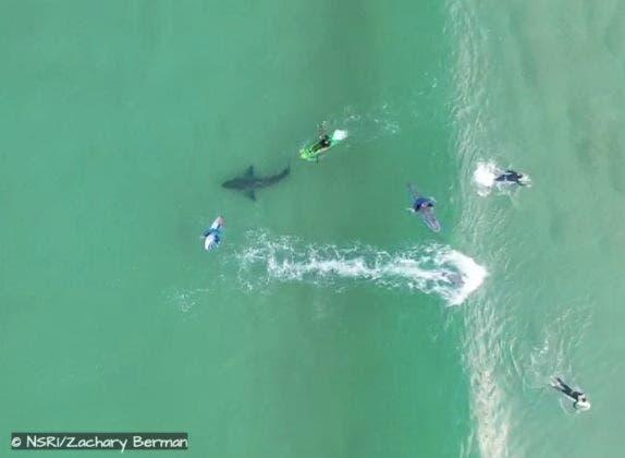 A kayaker in his green craft nearly rams the Great White not realising it is there until he is just inches away as the shark closes in on a unsuspecting surfer