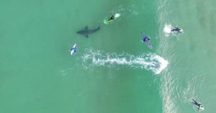 great-white-shark-drone-surfers-plett