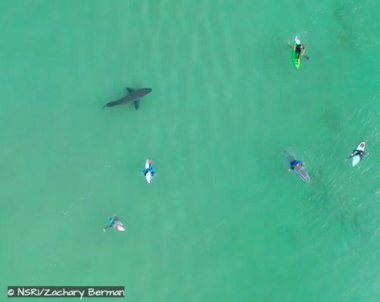 great white shark plett
