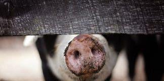 pigs african swine fever pix