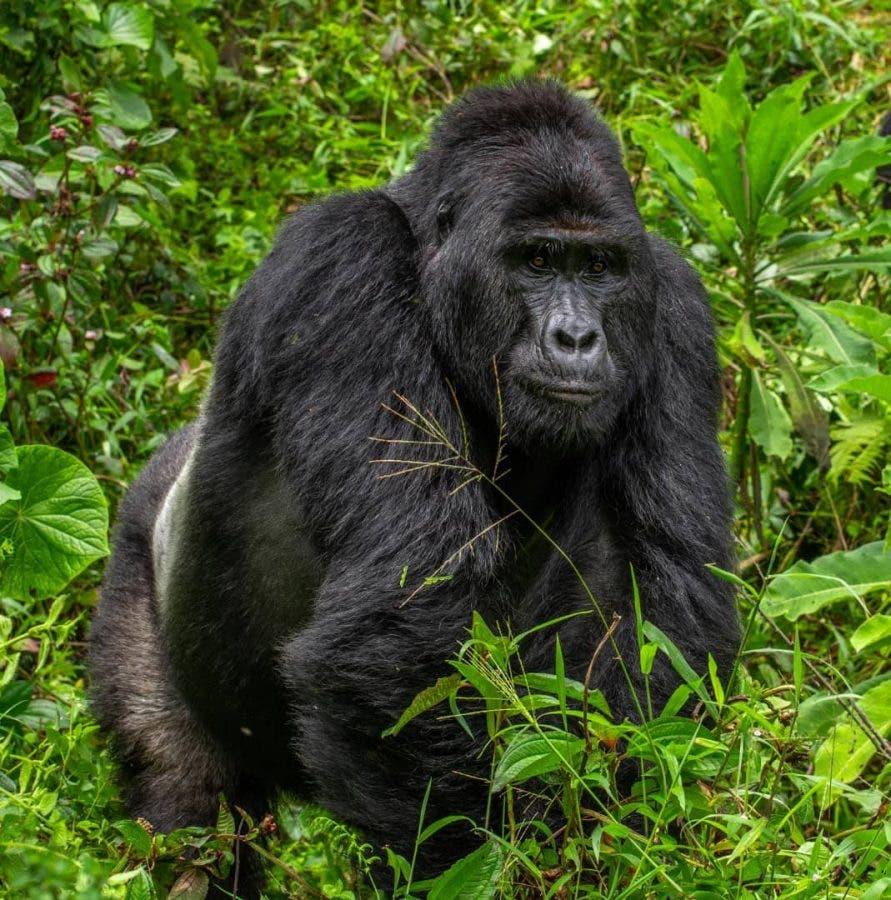 rafiki gorilla killed
