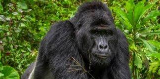 rafiki-gorilla-killed