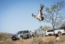 endangered vulture released after poison kzn south africa