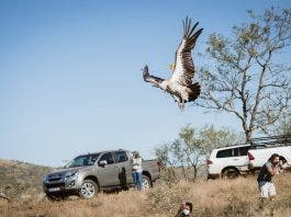 endangered vulture released after poison kzn south africa
