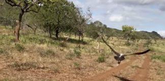 vulture-flies-free-zululand
