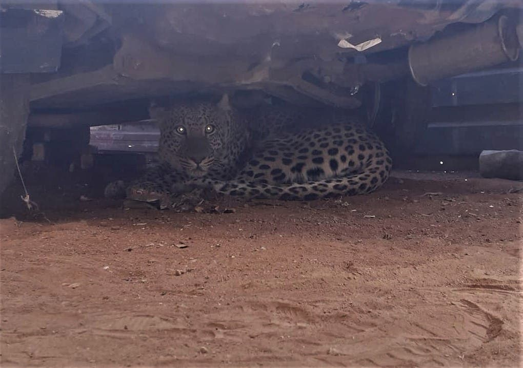 leopard urban klipgat south africa