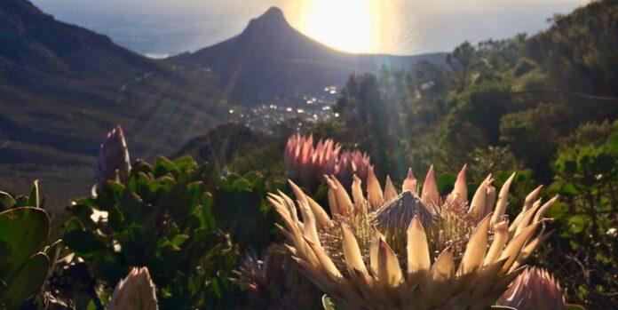 protea fynbos region
