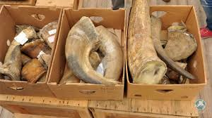 rhino horn confiscated south africa