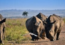 rhino-poaching-horn-scopio-ae686825-a34e-481c-be93-2396a556f3b2