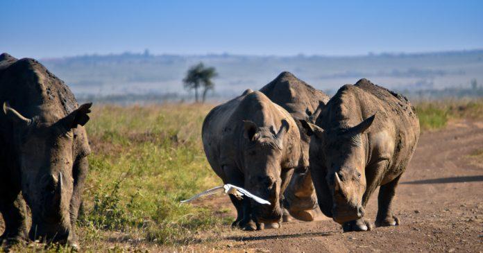 rhino-poaching-horn-scopio-ae686825-a34e-481c-be93-2396a556f3b2