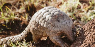 pangolin project zululand