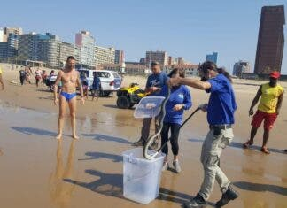 Black mamba rescued from Addington Beach Durban