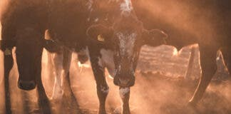 cattle-stock-theft-kzn-scopio