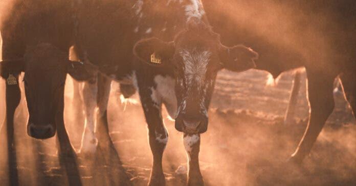 cattle-stock-theft-kzn-scopio