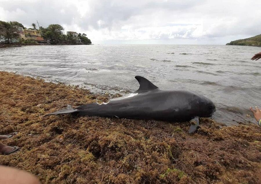 dolphin mauritius oil spill shore 3