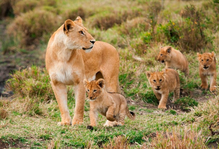 lions in the wild south africa