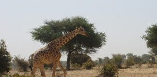 giraffe wildlife french tourists niger pix