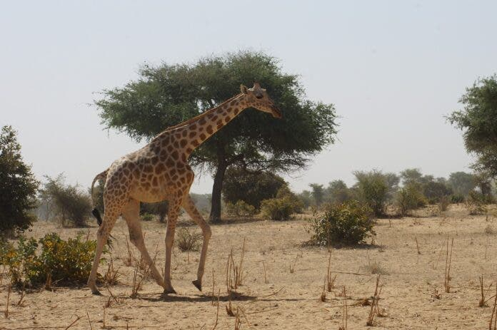 giraffe wildlife french tourists niger pix
