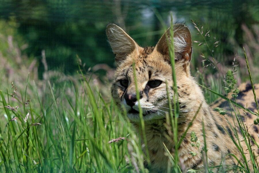 serval cat pix