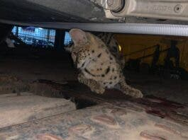 serval south africa wild cat