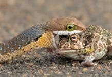 A boomslang eating a bullfrog. Provided by author/ G Cusins