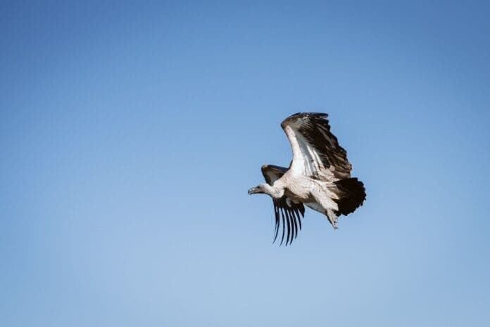 critically endangered vultures monitoring kzn south africa