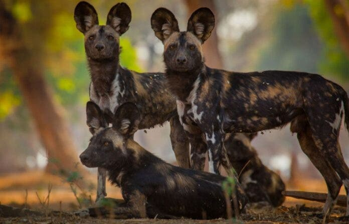 painted dogs african wild dog