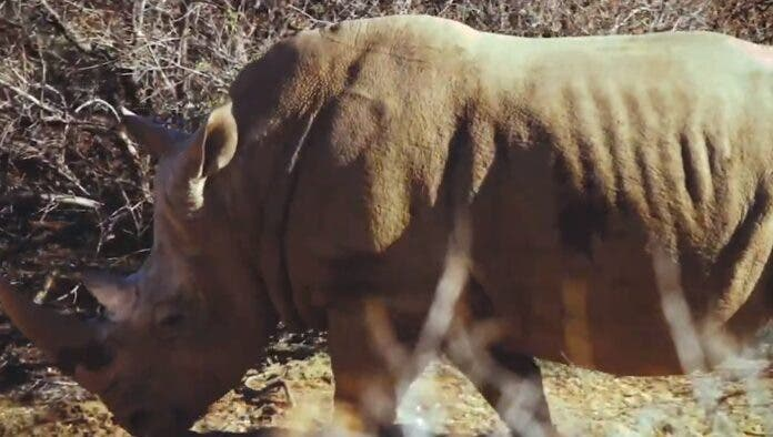 Rhino calf hluhluwe rescue