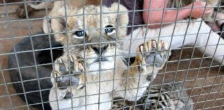 Blood Lions win. High Court dismissed the appeal filed by Zanchieta Wild Cat Farm