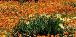 namaqualand flowers 2020