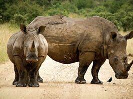 rhinoceros horns south africa