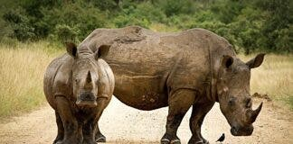 rhinoceros horns south africa