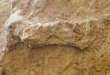 A hominin track in Garden Route National Park, lightly outlined in chalk. The track is 24 centimetres long. Charles Helm