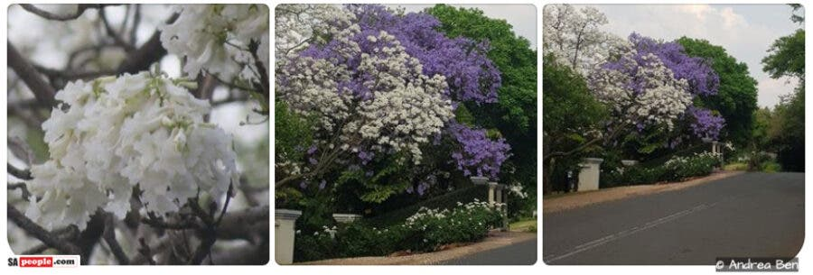 white-jacaranda trees-pretoria