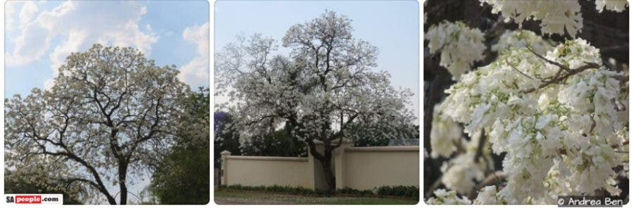 white-jacarandas trees south africa