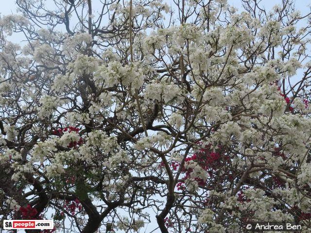 white jacarandas