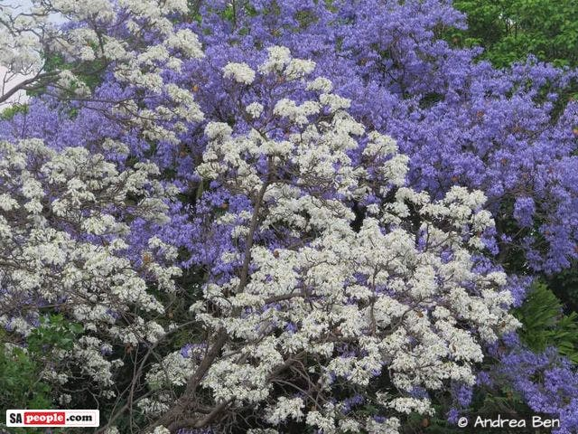 jacaranda trees south africa